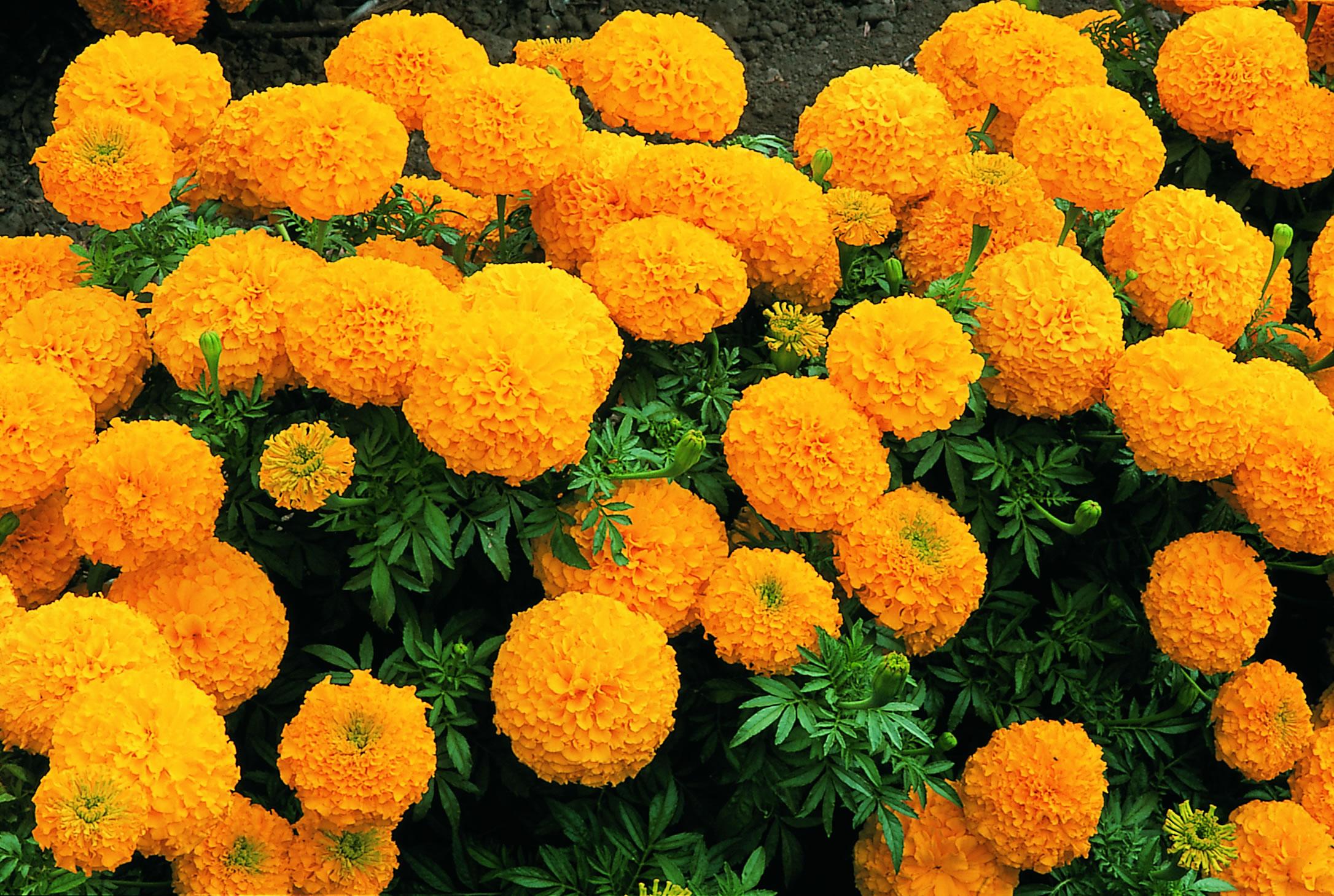 продаже новые цветы высокие для сада и огорода фото с названиями странно